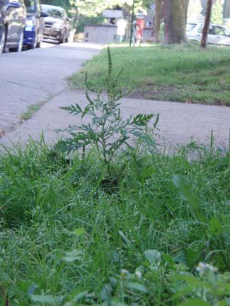 """Un """"beau"""" spécimen d'herbe à poux"""