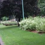 Floraison des hydrangea paniculata