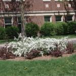 Floraison des spiraea arguta