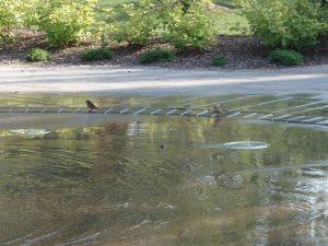 De petits oiseaux qui s'abreuvent au parc Raoul-Dandurand
